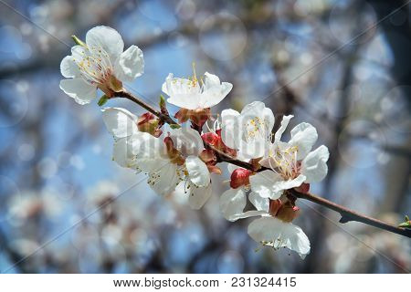 Apricot Tree Flowers. Spring White Flowers On A Tree Branch. Apricot Tree In Bloom. Spring Seasons .