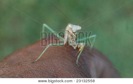 mantis on hand