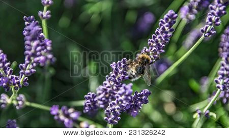 Bumblebee Collecting Nectar On A Lavender On A Color Picture.