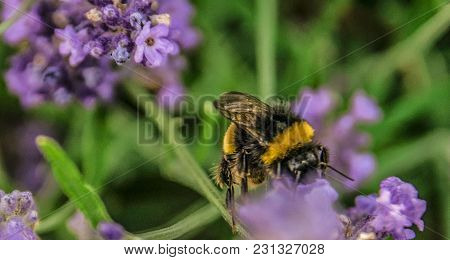 Bumblebee On A Lavender On Close Up Image.