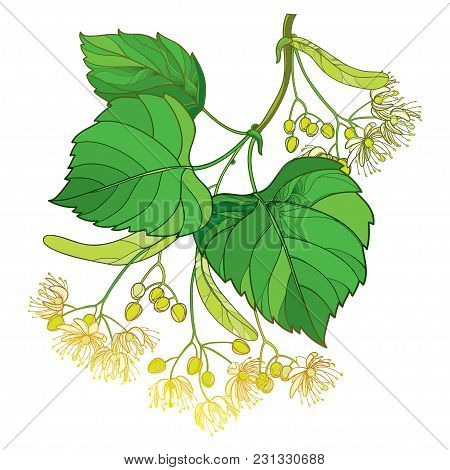 Vector Outline Linden Or Tilia Or Basswood Flower Bunch, Bract, Fruit And Ornate Green Leaf Isolated