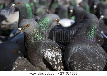View Of A Flock Of Pigeons Through The Eyes Of One Of Them; Birds Look In One Direction, Focus On Th