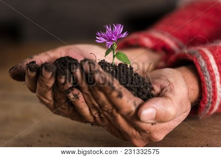 Gardener Cupping A Delicate Purple Flower In A Mound Of Dark Fertile Soil In His Hands With Focus To