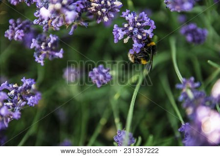 Macro Photo Of Insect Collecting Nectar On A Lavender Farm.