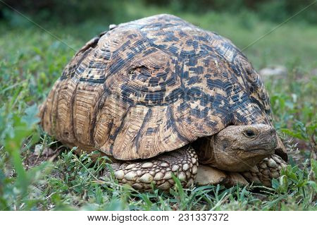 Turtle With A Huge Brown Shell Among The Green Grass.