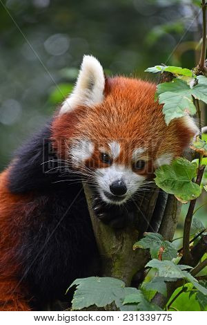 Close Up Portrait Of One Cute Red Panda On Green Tree, Looking At Camera, Low Angle View