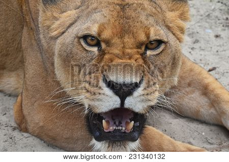 Close Up Portrait Of Beautiful Mature Female African Lioness, Angry Teething, Roaring And Looking At