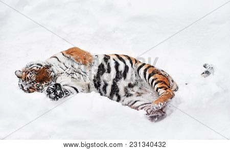One Young Female Amur (siberian) Tiger Playing And Rolling In Fresh White Snow Sunny Winter Day And
