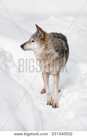Close Up Full Length Portrait Of One Grey Wolf Standing In Deep Winter Snow And Looking Away Alerted