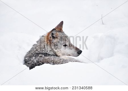 Close Up Profile Portrait Of One Grey Wolf Resting In Deep Snow Winter Den Lair And Looking Away, Lo