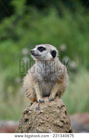 Close Up Front Portrait Of One Meerkat Sitting On A Rock And Looking Away Alerted Over Green Backgro
