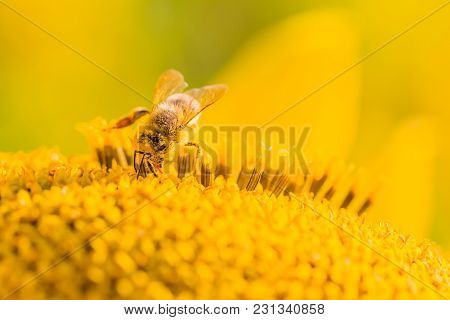 Honey Bee Collecting Yellow Summer Sun Flower Nectar With Tongue. Animal Is Sitting Collecting In Su