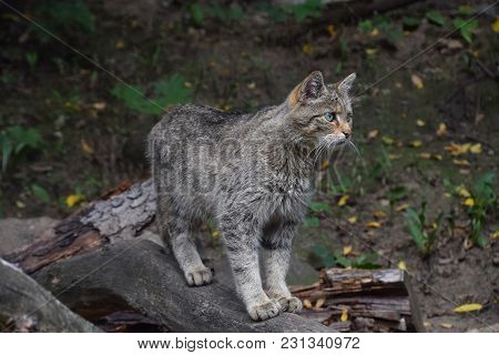 Close Up Side Profile Portrait Of One European Wildcat (felis Silvestris) Standing And Looking Away