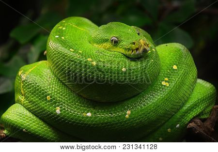 Close Up Side Profile Portrait Of Beautiful Green Tree Python (morelia Viridis) Looking Into Camera,