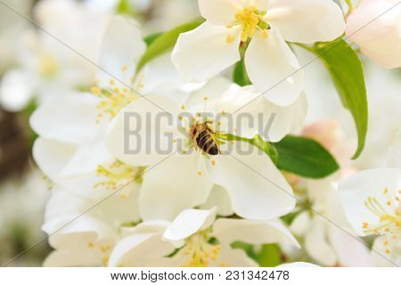 Bee On A White Blossoming Tree Branch In Spring