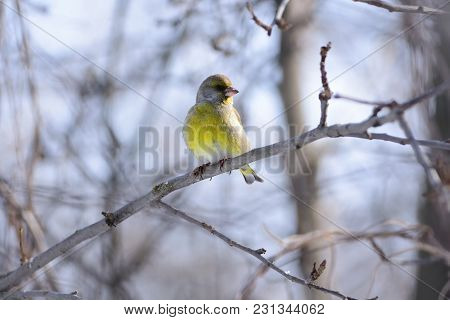 European Greenfinch (chloris Chloris) Sitting On A Branch Of An Apple Tree Against A Background Of B