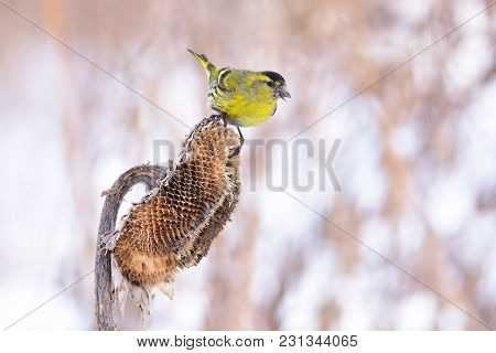 Eurasian Siskin (spinus Spinus) Sits On A Basket Of Sunflower With Seed In The Beak.