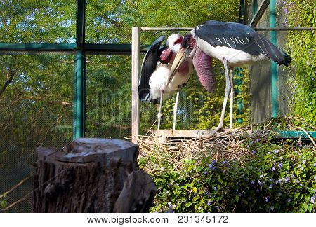 Caged Large African Marabou Storks Surrounded By Greenery