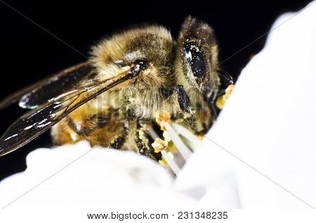 The Bee Collects Pollen On A White Flower Of Blossoming Cherry In The Spring, Front View. Closeup Ma