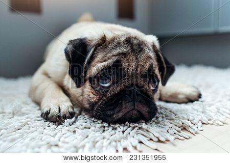 Sad Pug Dog Was Punished And Left Alone On The Kitchen