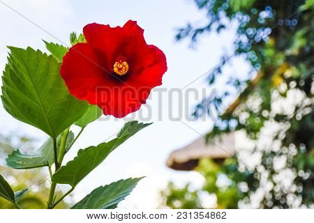 Looking Up At A Colorful Red Hibiscus In Playa Del Carmen, Mexico.