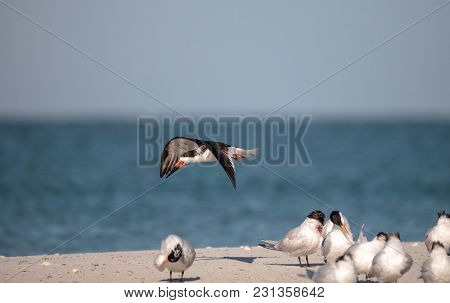 Flock Of Black Skimmer Terns Rynchops Niger On The Beach At Clam Pass