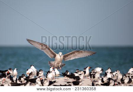 Herring Gull Larus Argentatus On The Beach At Clam Pass