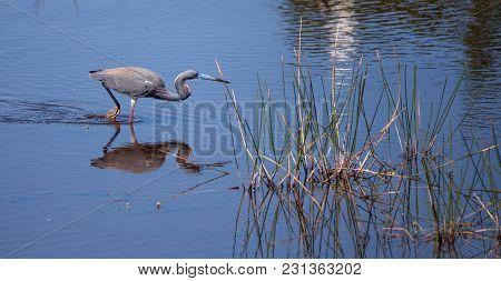 Tricolored Heron Bird Egretta Tricolor In A Pond