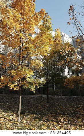 Autumn Tree With Fallen Dry Leaves In Sun