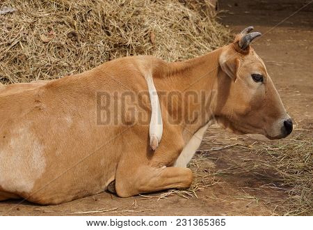A Cow With Extra Leg On Its Back / Animal Born With Abnormality