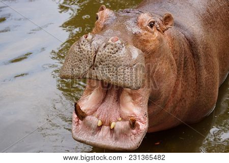 Hippopotamus In The Water Opening Its Mouth