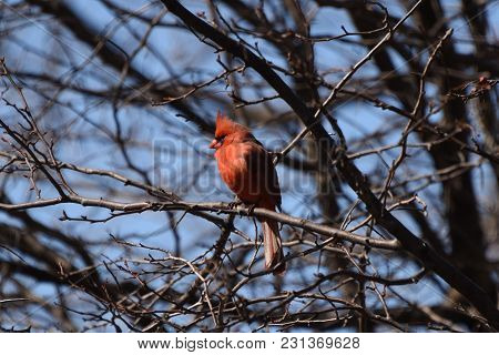 Male Northern Cardinal Perched On A Tree Branch, Red With Blue Background