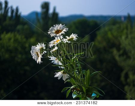 Blooming Chamomile, Beautiful Nature Scene, Summer Background, Selective Focus
