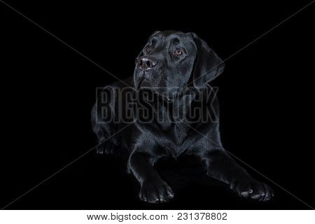Beautiful Young Male Dog Labrador Breed On A Black Background