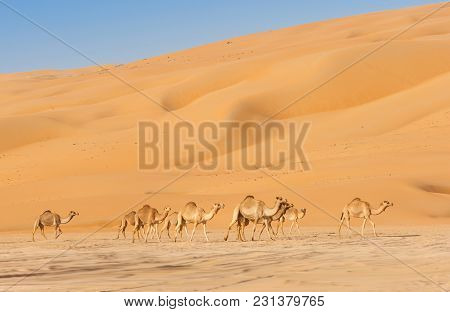 Camels In The Rub Al Khali Or Empty Quarter. Straddling Oman, Saudi Arabia, The Uae And Yemen, This