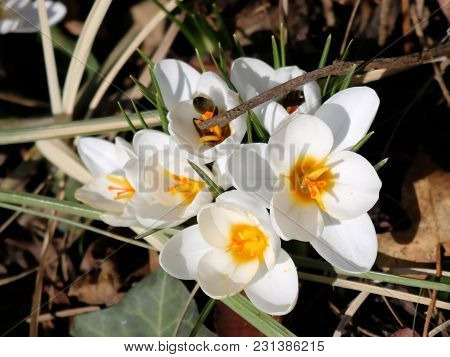 White Crocus With Yellow Center In Spring, First Bee Collecting Nectar