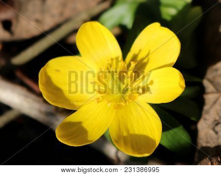 Yellow Aconite In Full Bloom, Early Spring, Close-up