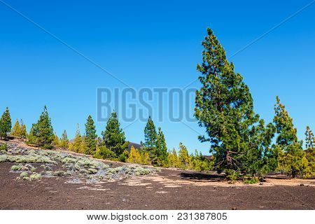 Pine Forest On Lava Rocks At The Teide National Park In Tenerife, Spain