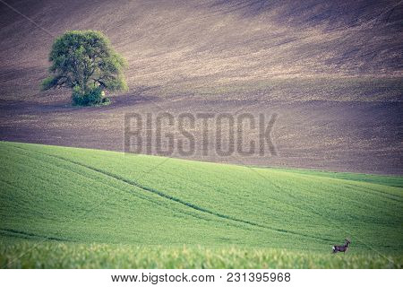 Green Grass Fields And Roe. Spring Nature Landscape
