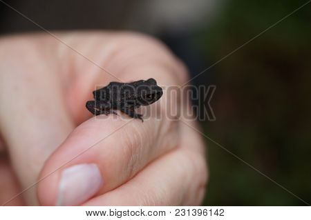 Little Frog - Young Toad On A Womans Hand