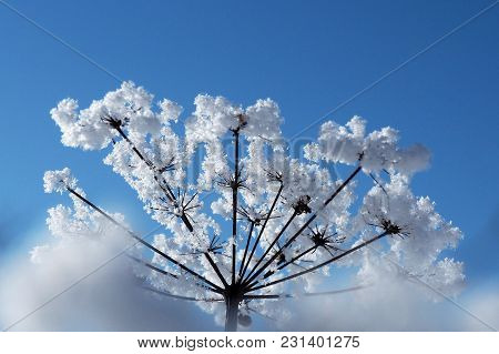 Crystallized Flowers Are Fabulous Against The Blue Sky. Winter Wonder Of Nature Crystals Of Frost.