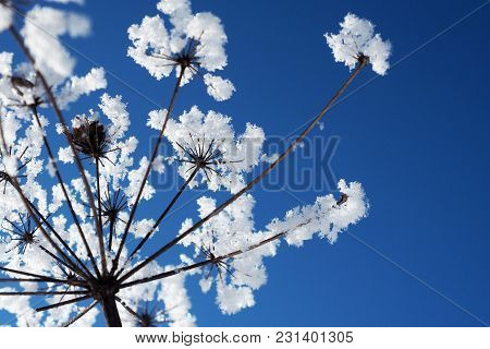 Crystallized Flowers On A Blue Sky Background. Winter Wonder Of Nature Crystals Of Frost.