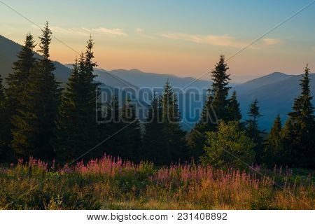 Alpine Meadow Covered With Wildflowers, Surrounded By Huge Pine Trees - Stunning View In The Mountai