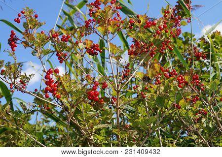 Viburnum Red Berries - Wild Bush Of Viburnum Red Berries In A Forest Next To Hamburg Germany