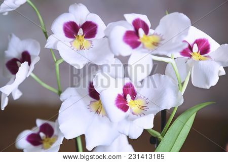 Beautiful Large Flowers Of White Orchid On The Windowsill Against The Tulle Curtains.