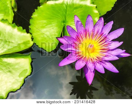 Purple Lotus Blossom With Green Leaf In The Pond