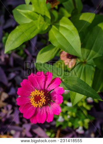 Closeup Pink Zinnia On Nature Background In The Park