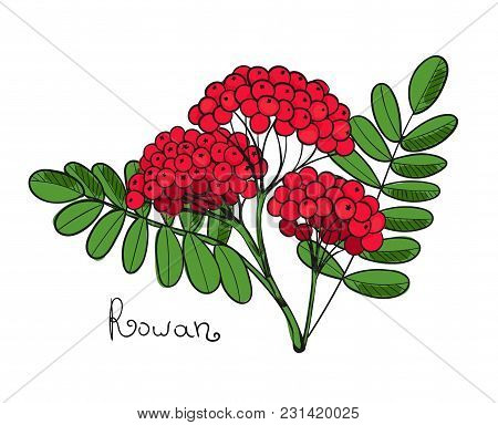Red Rowan Tree. Isolated Twig Of Rowanberry Or Ashberry. Leaves And Cluster Of Sorbus Berry. Vector