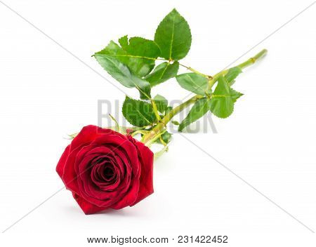One Red Rose Isolated On White Background Fresh Cut