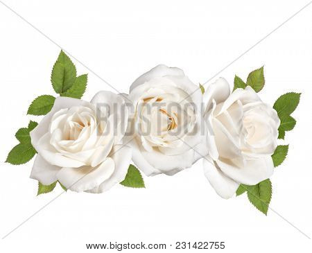 three white rose flower heads with leaves isolated on white background cutout